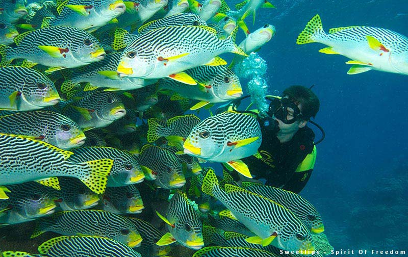 Sweetlips & Diver